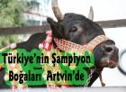 Türkiıe'nin Şampiyon Boğaları Artvin'de