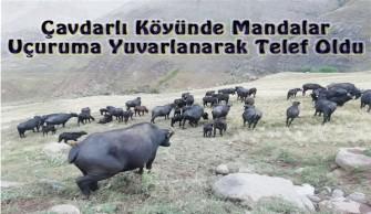 Çavdarlı Köyünde Mandalar Uçuruma Yuvarlanarak Telef Oldu